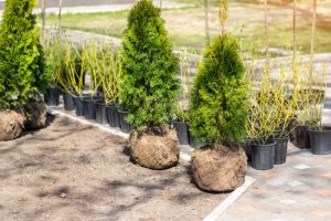 Group of bushes ready to be planted